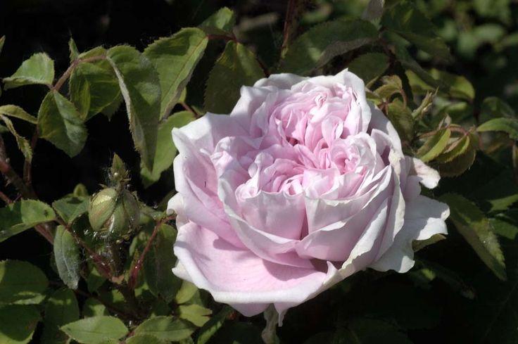 Rose : Blush Damask