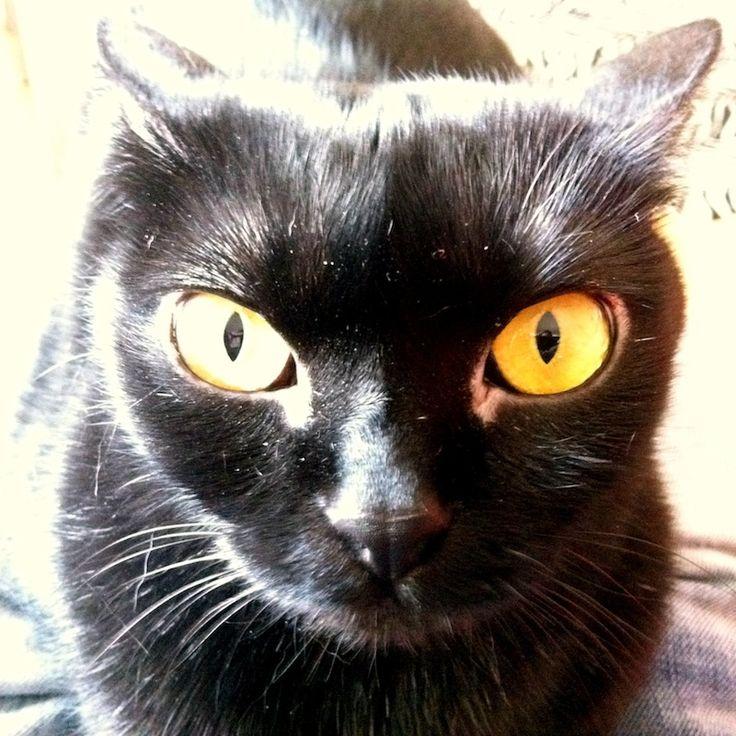 http://flolly.com/cats/cat-breeds/bombay-cat/