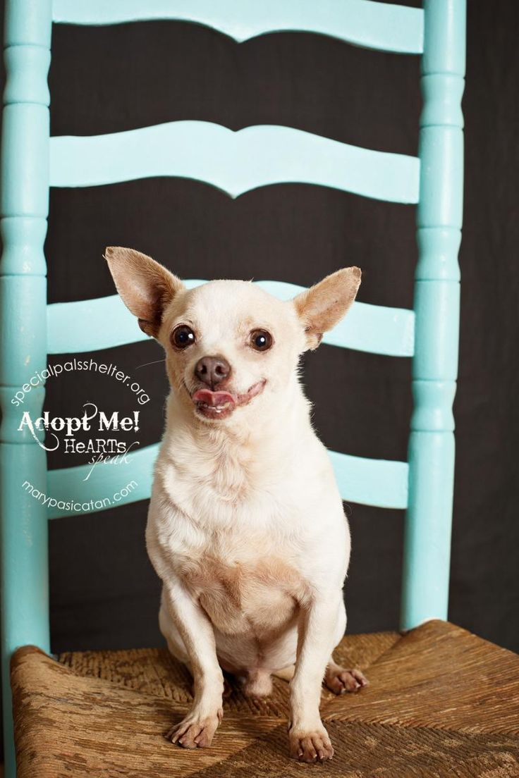 11/29/14 sl ~ Pinky Chihuahua • Adult • Male • Small Special