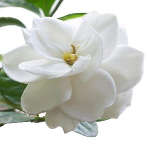 Bulk Gardenia flowers have large beautiful blooms that are perfect for floating in a bowl with some candles. These very fragile flowers have no stems and must often be wired or glued. Included are the silk leaves upon which the flower sits. A very popular wedding flower, the white Gardenia would...