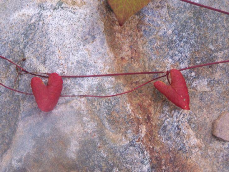 Leaf hearts in the Adirondacks