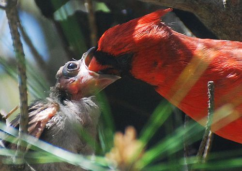 Cardinal feeding their baby, Cardinals mate for life and take care of each other and their babies!