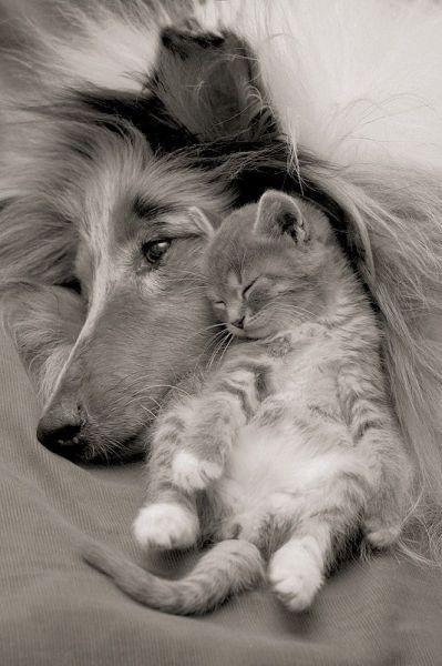 "Dog and kitten. ""My second mom"" / Собака и котенок. ""Моя вторая мама""."