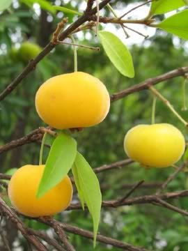Uvaia - Rare ornamental Brazilian Fruits (Eugenia pyriformis)