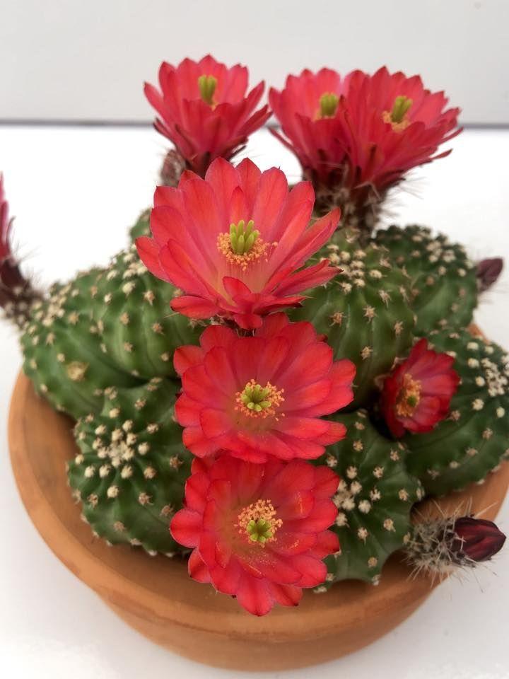 """Echinocereus pulchellus """"flor roja"""""""