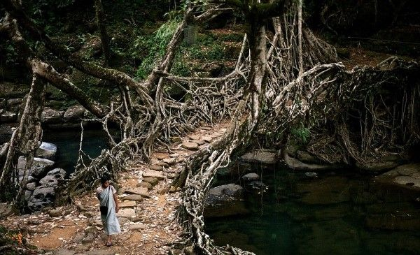 """For the last 500 years, the locals of Nongriat in Meghalaya, India have grown several hundred bridges across the region's numerous water channels, using just the roots of local ribber trees. Some of the bridges extend over 100 feet in length and are strong enough to support more than 50 people at a time."""
