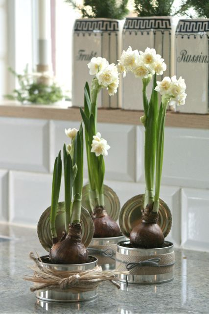 Paperwhites in tuna cans :)