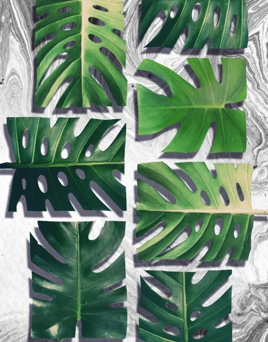 related post for monstera deliciosa coloring pages related post for monstera deliciosa coloring pages