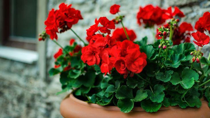 Zasadili jste do truhlíků muškáty nebo petúnie a štve vás, že málo kvetou? Můžete to změnit! Inspirujte se našimi radami a vaše okna i balkony budou plné barevných květů až do září.