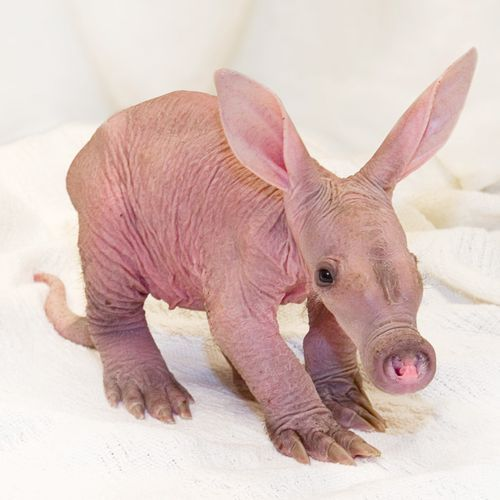 <3 Baby-Aardvark, looks like he could be related in some way to the Sphinx cat, lol <3