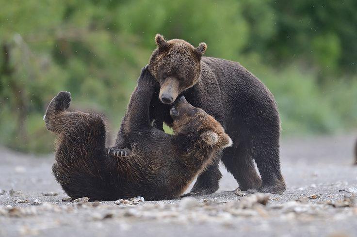 Детские игры. Камчатка, Бурые медведи  Автор: Александр Малецкий