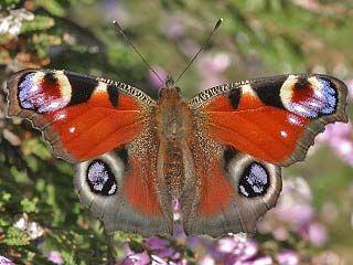 Neitoperhonen, Nymphalis io - Perhoset - LuontoPortti