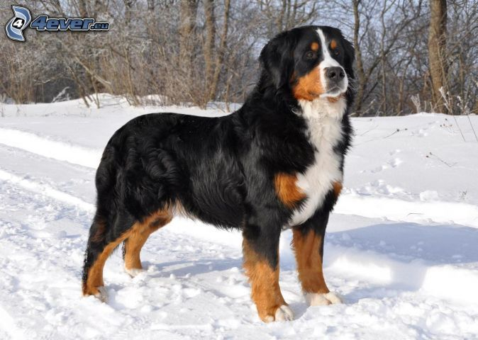 Bernese Mountain Dog, snow, good guard dog