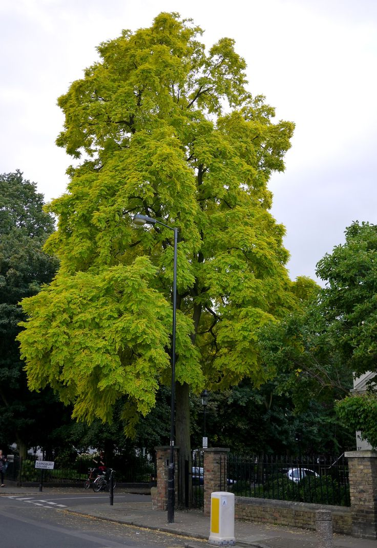 11 best TOP10 Shade Trees images on Pinterest   Shade trees, Growing ...