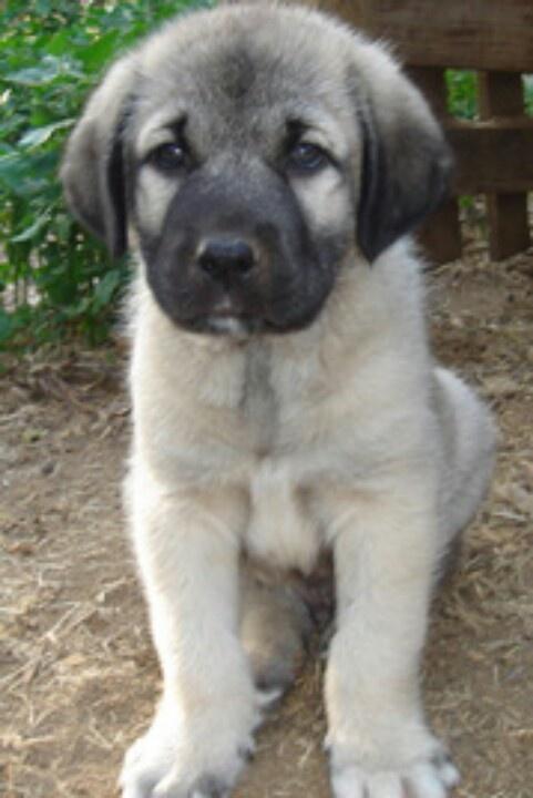 Kangal puppy, I want