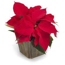 enten elsker man julestjerner eller så hader man dem.... jeg er ikke tilhænger af dem...