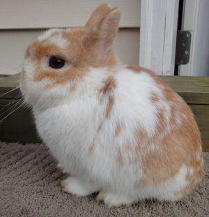 Orange Dwarf Rabbit (page 3) - Pics about space
