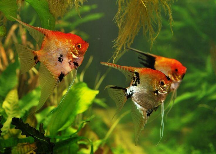 Pterophyllum scalare Koi / Maanvis Koi | Aquarium vissen database | gdaquarium