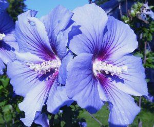 blue bird rose of sharon hardy hibiscus 3 seeds by hg. Black Bedroom Furniture Sets. Home Design Ideas