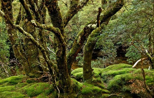 The Tarkine Forest #Tasmania photo by Carol Haberle, article for think-tasmania.com