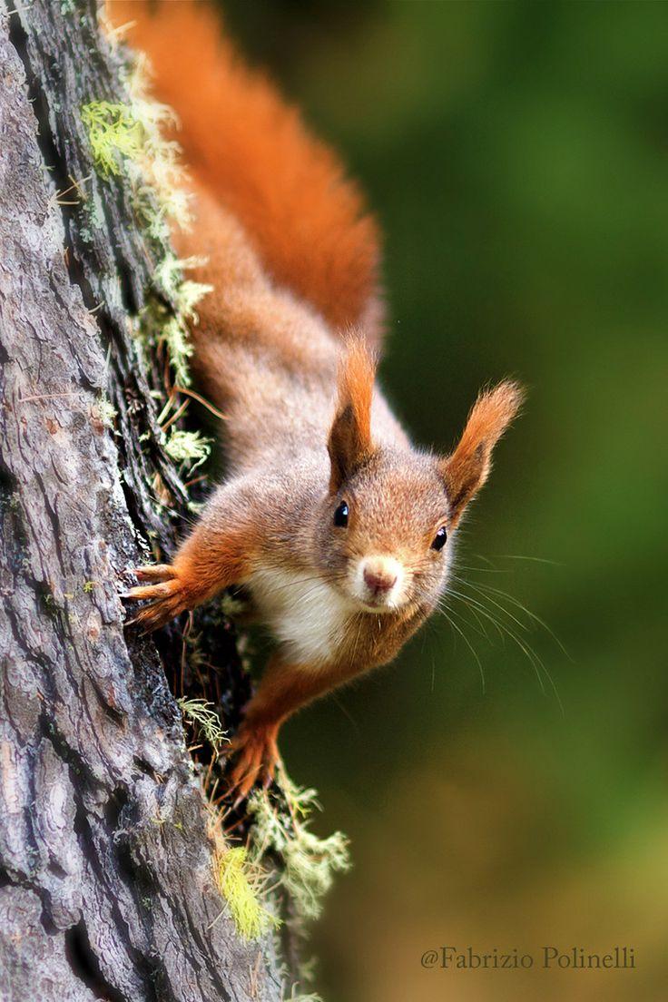 scoiattolo rosso , Livigno