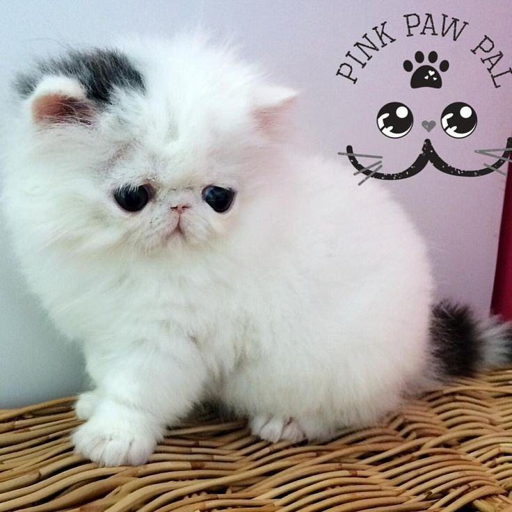 1628 best images about persian cats on Pinterest  Persian