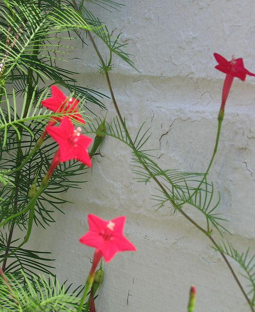Cardinal Vine (Ipomoea quamoclit). I always forget that I need to keep cutting it back....right now it has buried the rocking chair on my patio. But the hummingbirds love it!