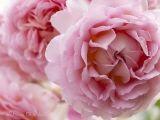 """""""Jubeln für die Queen"""". Eines von 10 neuen Rosenbildern mit David Austin-Rosen von Nature to Print. Natürlich schöne Blumenbilder auf Leinwand, Acrylglas, Alu-Dibond oder Fototapete.  http://www.nature-to-print.de/blumen/flora/englische-rosen/jubileeceleb201425.php"""