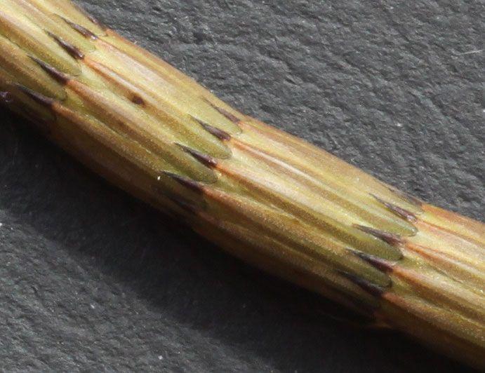 Equistetum arvense L. stem