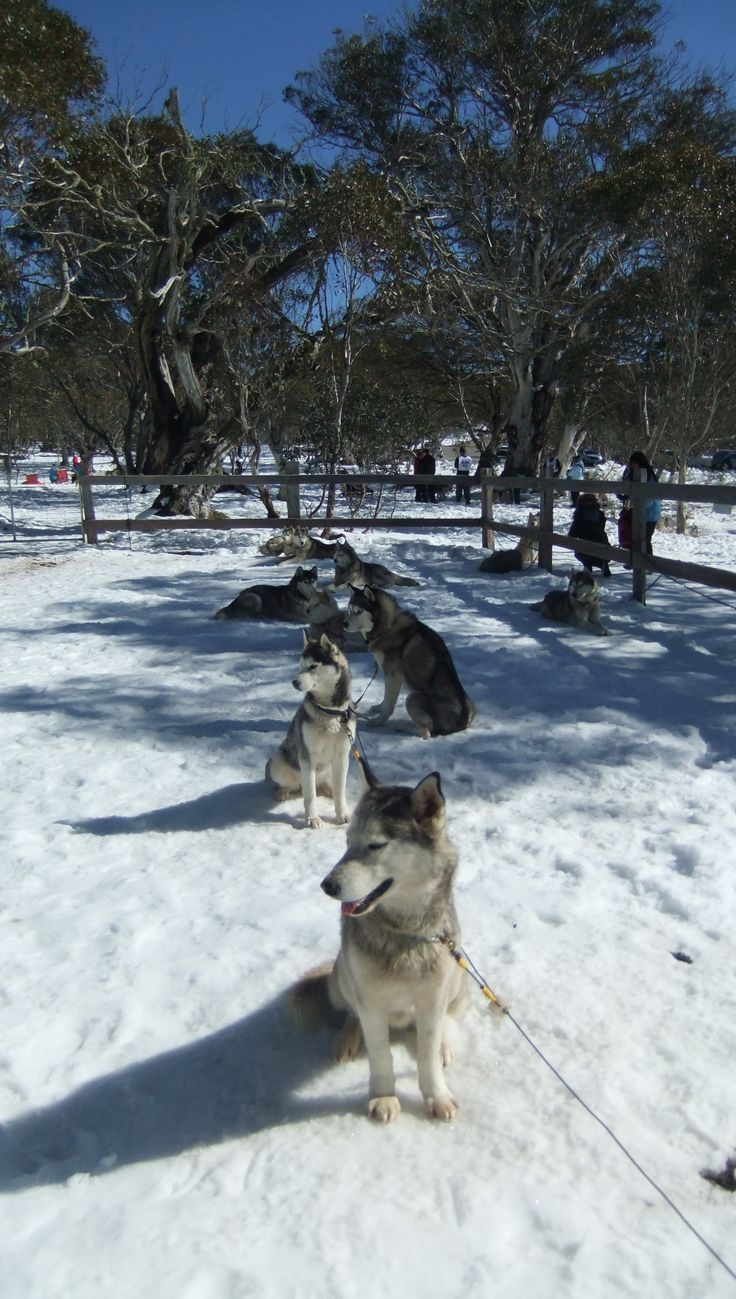 Sled Dog Races - Dinner Plain