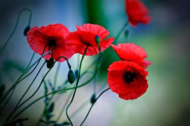 Gratis Obraz Na Pixabay Kwiat Roslina Natura Maki Lato Bedeutung Von Blumen Mohnblume Bedeutung Mohnblume