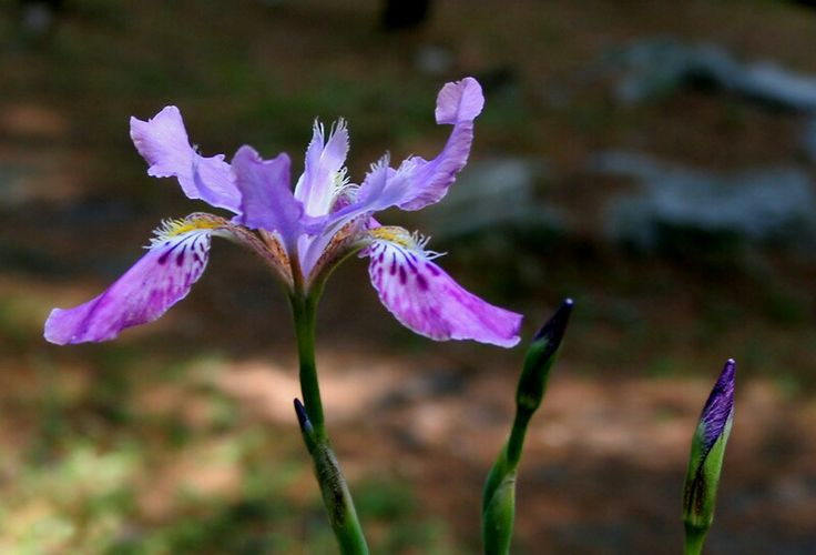 Iris milesii