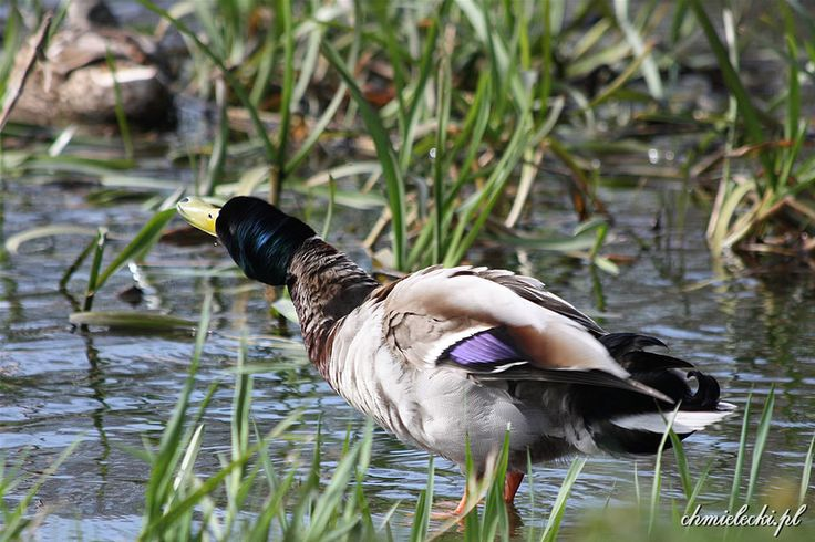Darłowo. Shocking duck