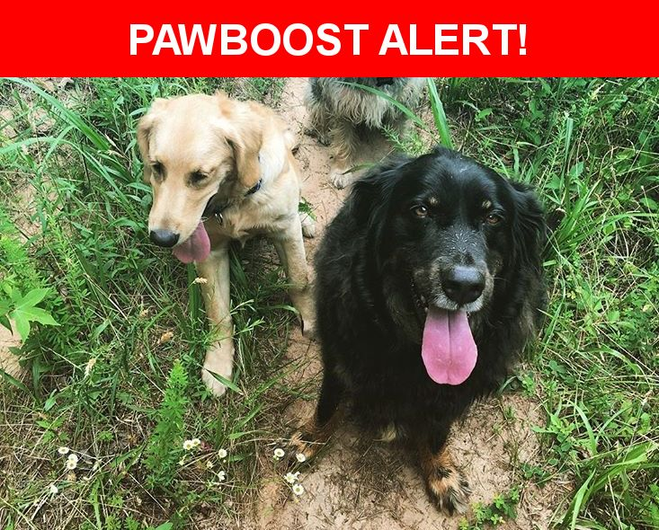 Please spread the word! Aspen And Chief was last seen in Landrum, SC 29356.  Description: Black shepherd 6yr old-chief  Golden ret- 11 mth-Aspen     Both very friendly and likely together. We are devestated! Missing since 11-18-16  Nearest Address: 500 Lister Road, Landrum, SC, United States