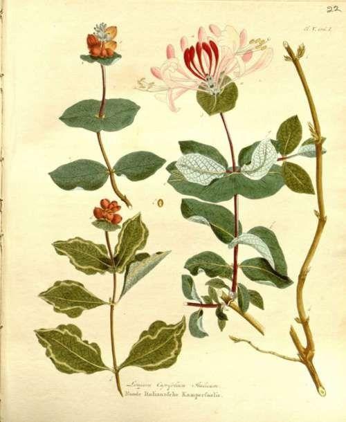 Honeysuckle vintage botanical print les fleurs for Botanic fleurs artificielles