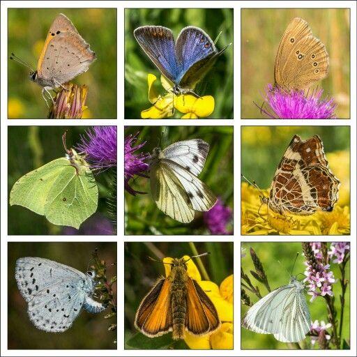 Vlinder collage