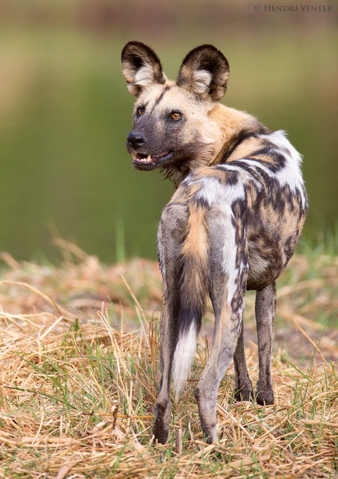African Wild Dog by Hendri Venter on 500px