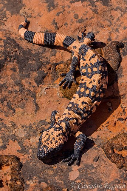Gila Monster. When I was a kid in Arizona, I'd hunt gila monsters and watch them for hours.  I LOVE the desert.