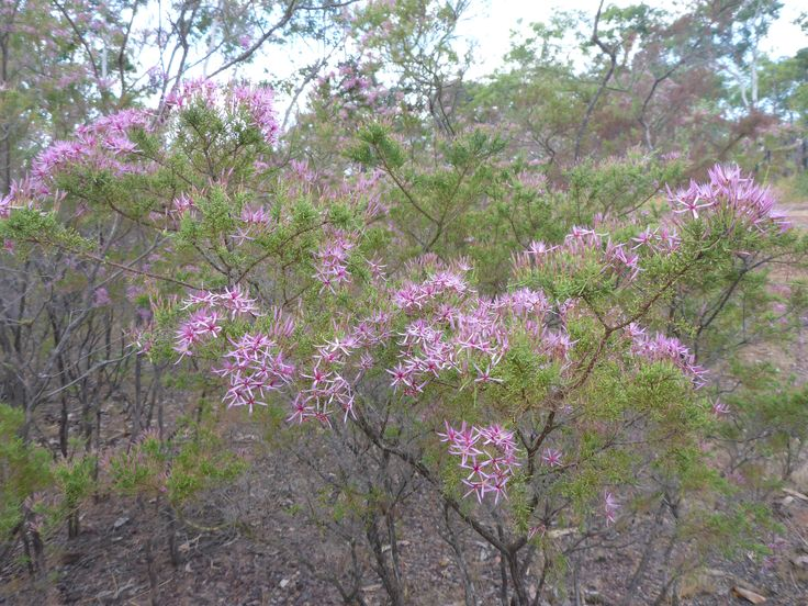 Small number of Kimberley Heath (Calytrix exstipulata) in the wild, Litchfield national park, Northern Territory