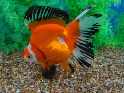 SHOW QUALITY Red & White Ryukin with Butterfly Tail and black highlights (5.5 inches) goldfishnet.com