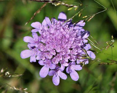 Plantas: Beleza e Diversidade: Scabiosa columbaria
