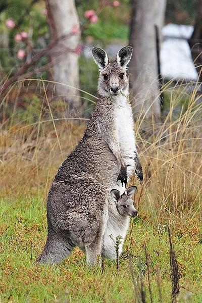 Kangaroo... Ketika orang Inggris tiba di Australia, mereka bertanya pada orang Aborigin, ini hewan apaa...? Aborigin menjawab Kangaroo, artinya : saya tidak mengerti maksud anda.. Ketika itu juga orang Inggris menanggap hewan ini namanya Kangaroo...    Bayi kanguru lahir dengan ukuran sangat kecil, 1.5 cm, ketika dewasa bisa mencapai 2m.