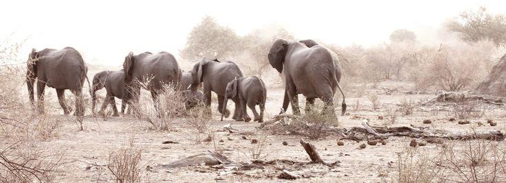 Elephants in a Botswana dust storm.  Photo cred: Lawrie O'Neill