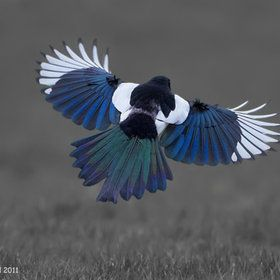 Magpie Colours  by Richard Steel