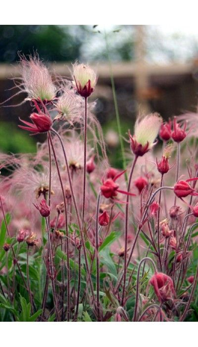 """Geum triflorum (Prairie Smoke) is one of the most stunning and longest lasting prairie perennials, with unmistakable feathery silver and pink seedheads in mid-spring. It is a soft, hairy plant growing typically to 16"""" tall with fern-like leaves. It prefers full sun and average to dry soil. It is drought tolerant once established, grows in sand, gravel and rock gardens. It spreads by rhizomes and can be naturalized to form an interesting ground cover."""