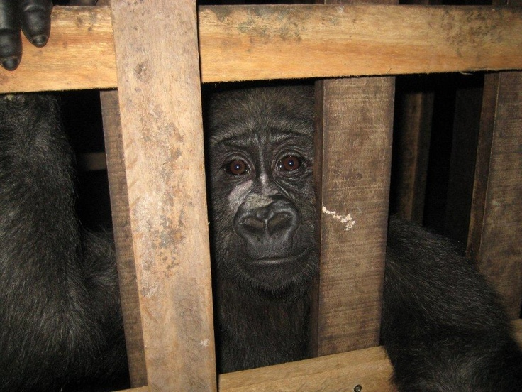 This little gorilla is now safe with us in Cameroon....and she came with a friend, a baby chimpanzee! We're still waiting for more news and photos from Cameroon...watch this space!