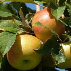 The first step in controlling the insect larvae that so often infest apples is identification. Once you know what it is, you've taken the first step in dealing with it. Here are some tips for ident...