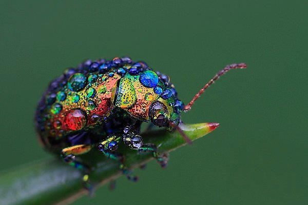 The world is full of magic things,   patiently waiting   for our senses to grow sharper.   ~W.B. Yeats: Rainbows Leaf, Leaf Beetles, Beautiful Bugs, Color, Funny Pictures, Dew Drop,  Chrysomelid, Dewdrop, Water Droplets