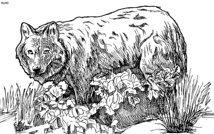 endangered species coloring pages wolf coloring page endangered species coloring book. Black Bedroom Furniture Sets. Home Design Ideas