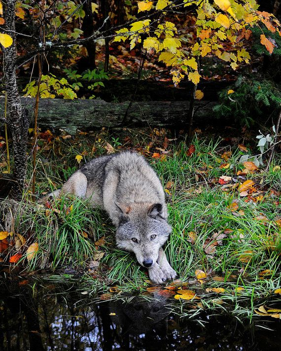 shoe carnival jobs Gray Timber Wolf Lying By Pond In Autumn Leaves by NatureIsArt   22 00